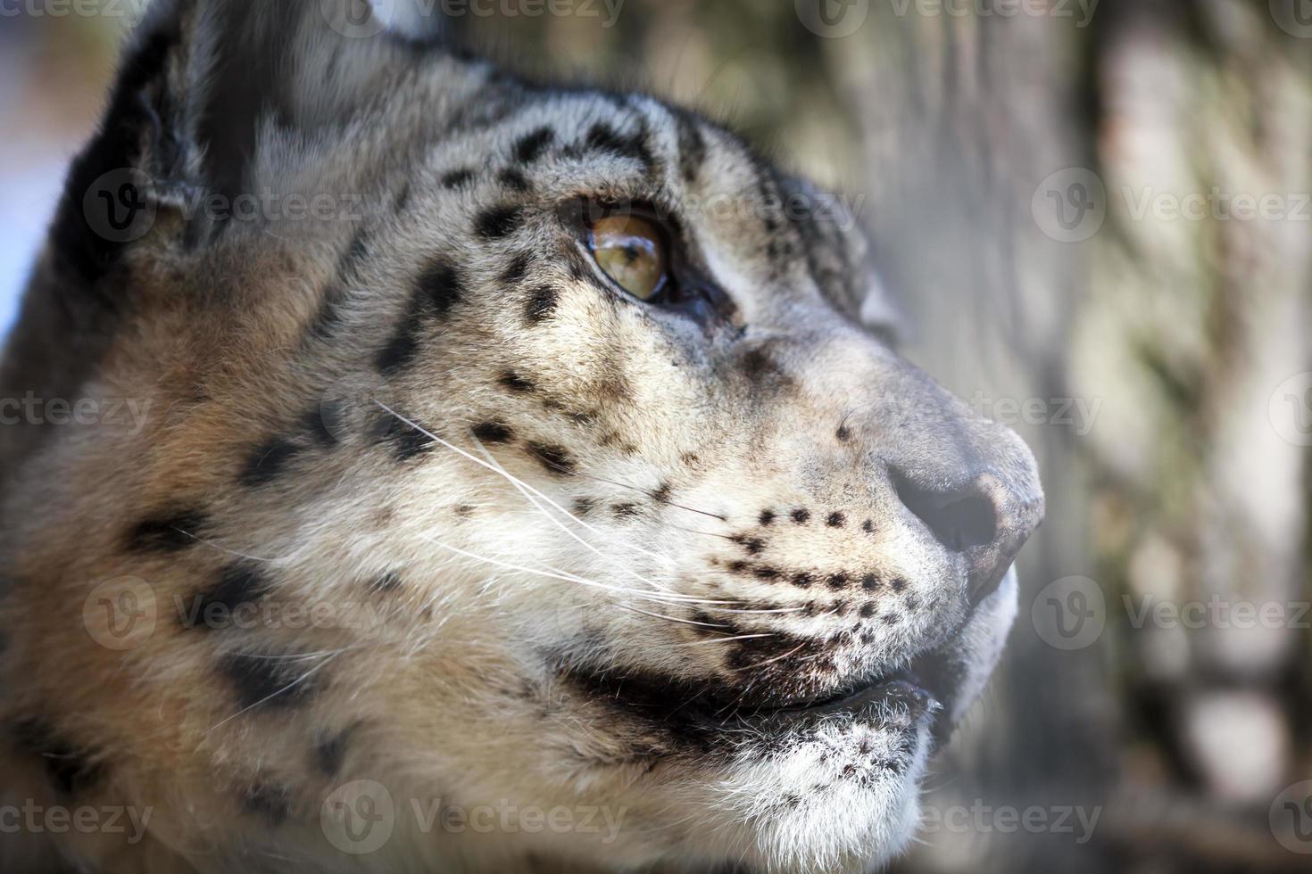 retrato leopardo de las nieves foto