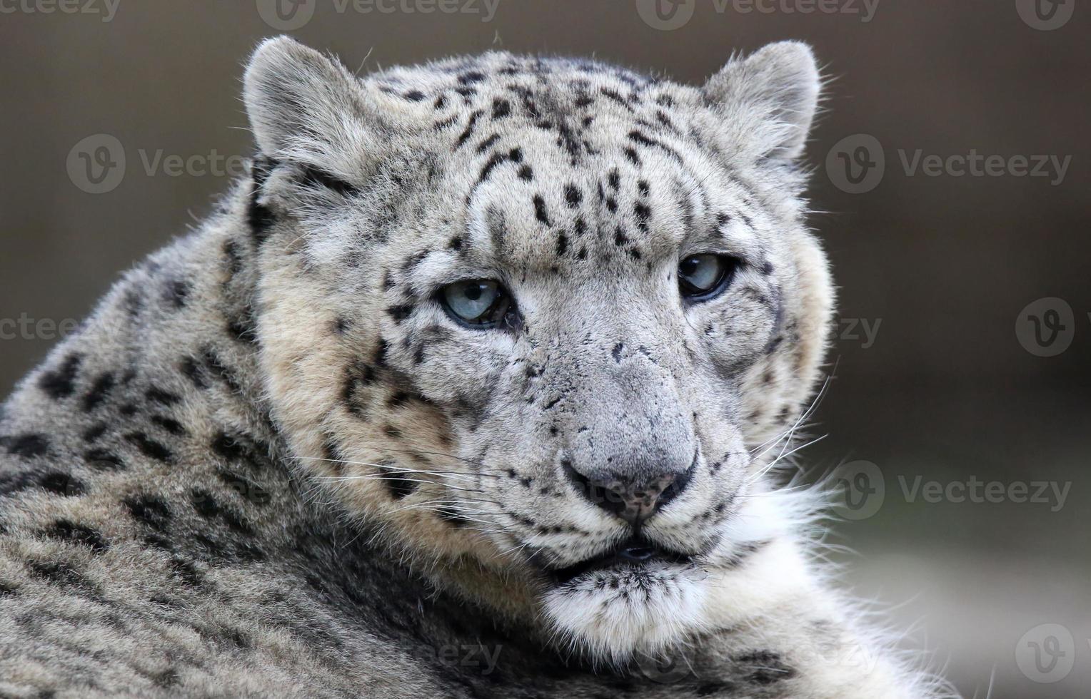 primer plano de un leopardo de las nieves foto