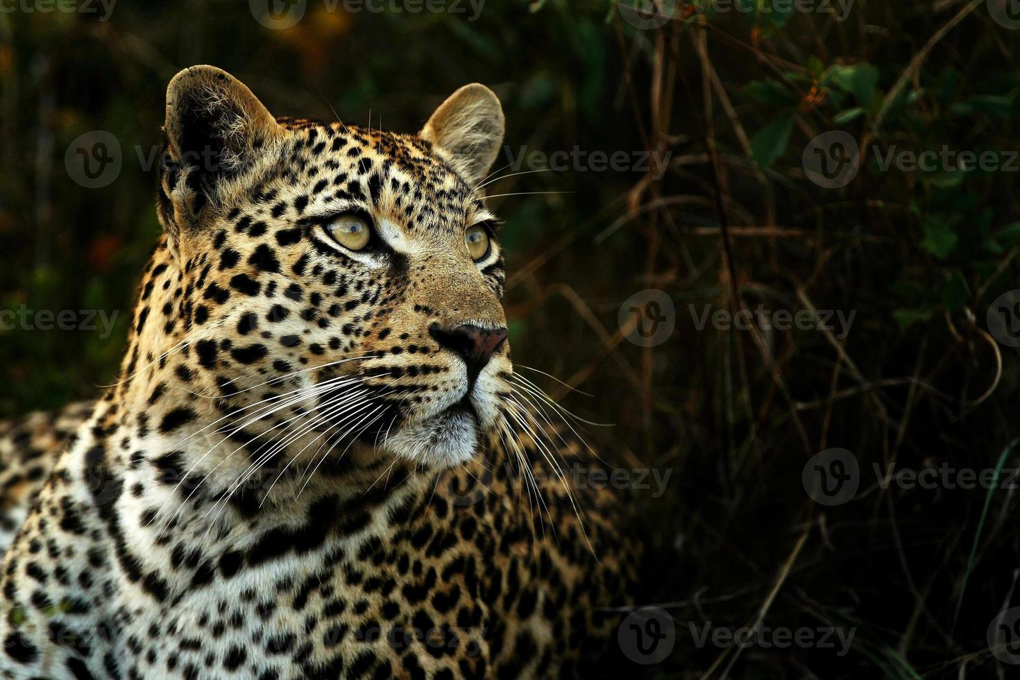 leopardo en las sombras foto