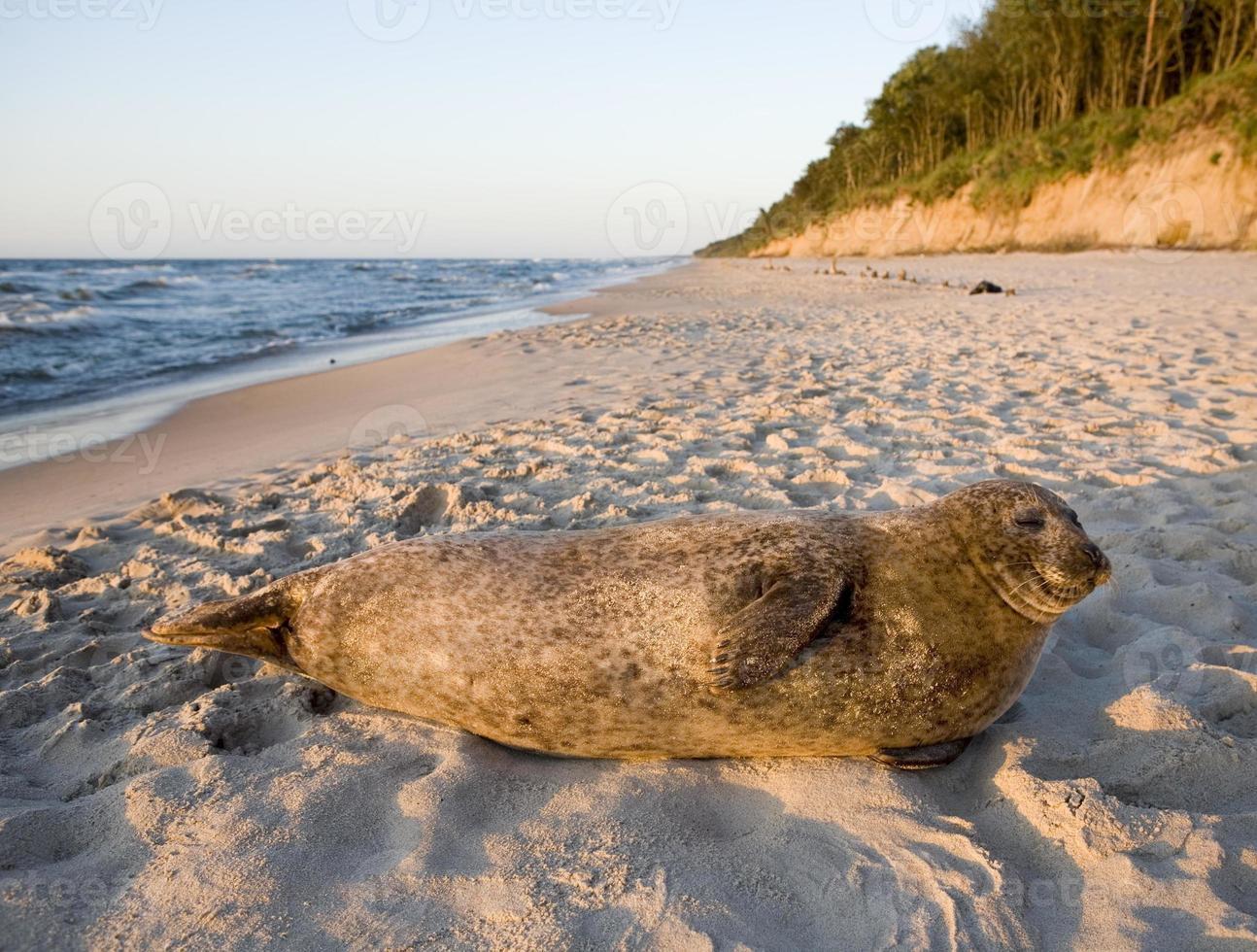 sello común en la orilla del mar Báltico foto