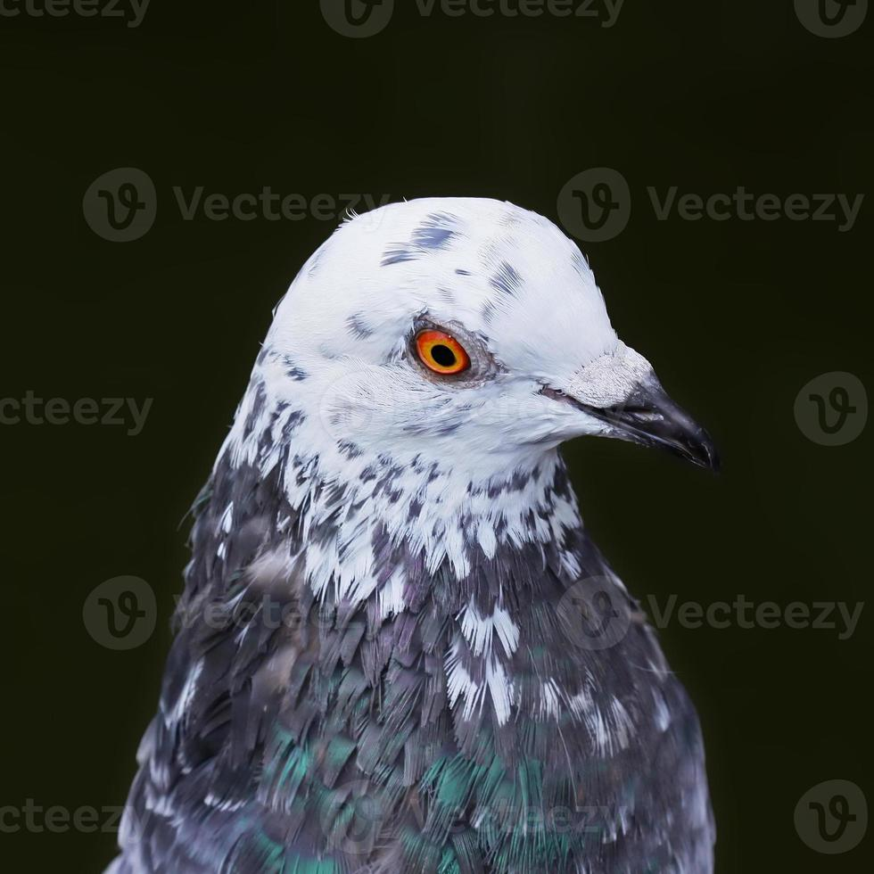 Detail of a pigeon head close-up photo