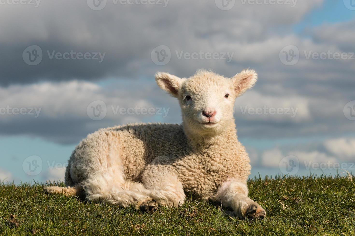 basking little lamb photo