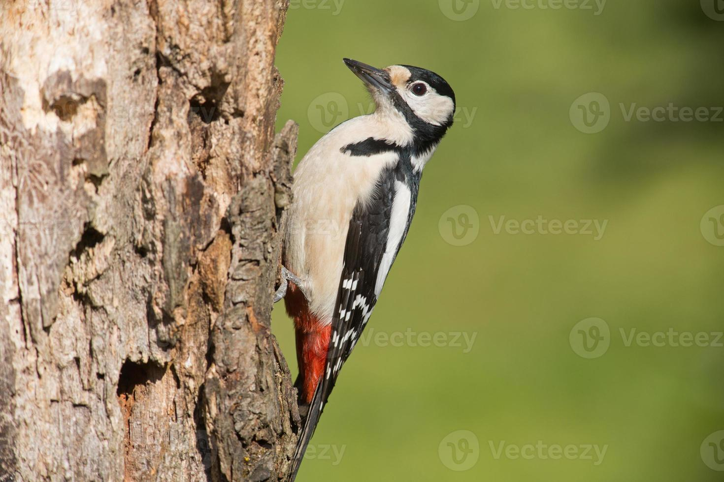 great spotted woodpecker photo