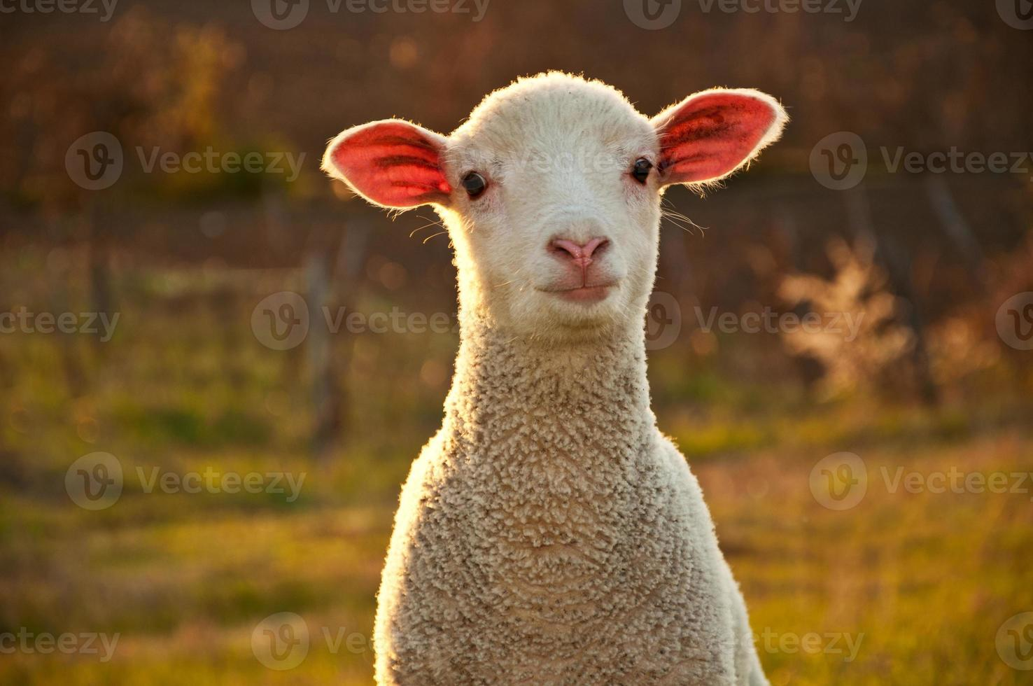 Lamb in the sunset photo