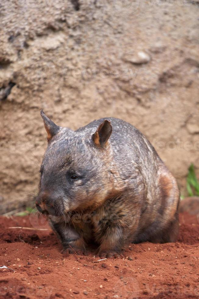 wombat de nariz peluda foto