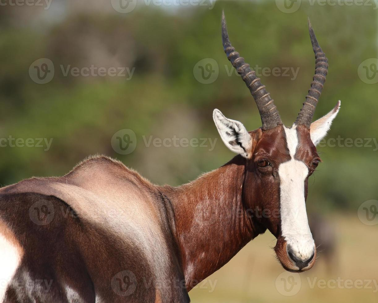 Retrato de antílope bontebok foto