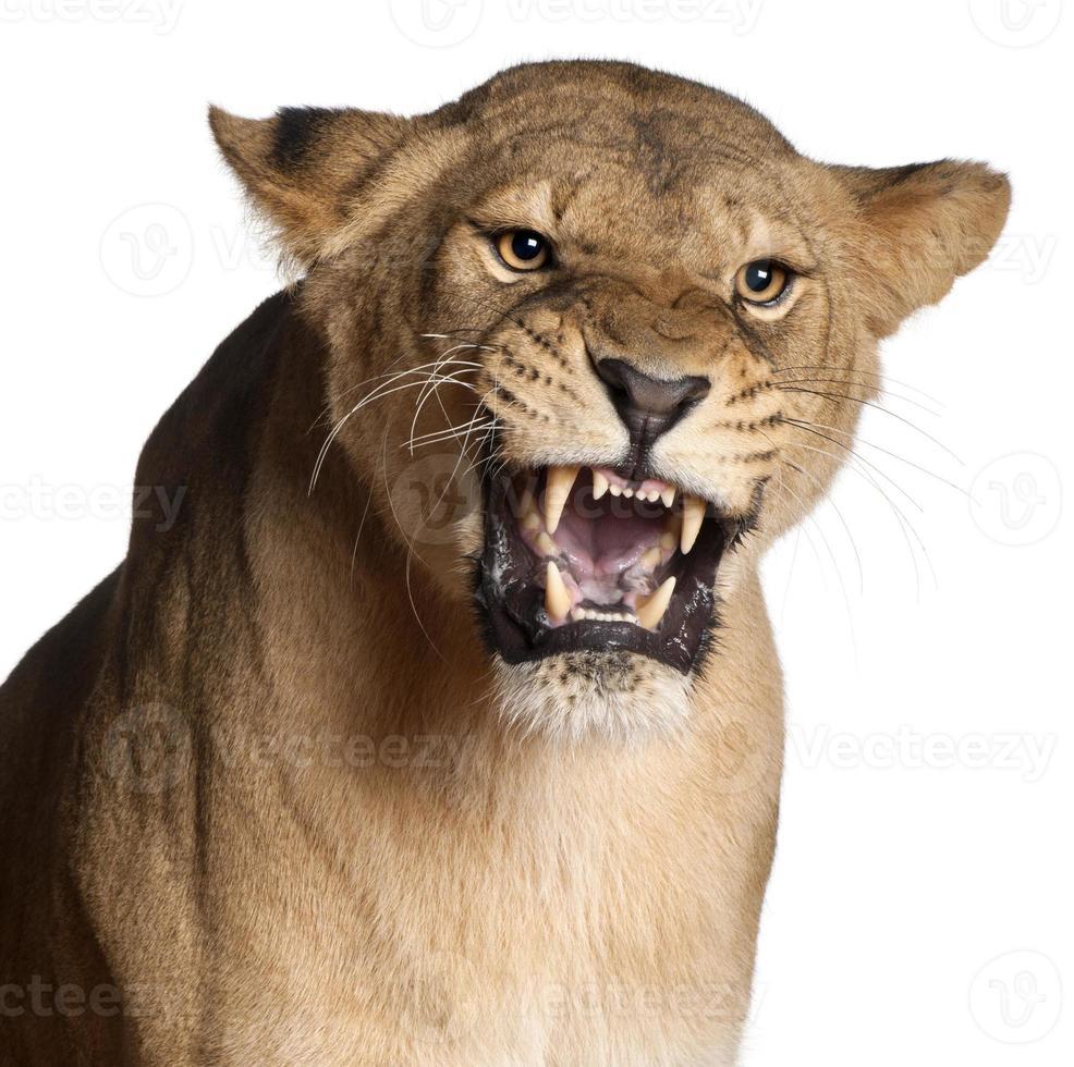 Leona, Panthera leo, gruñendo delante de un fondo blanco. foto