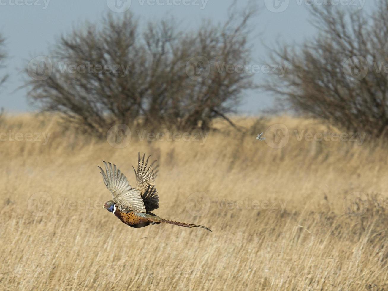 Flying Pheasant photo