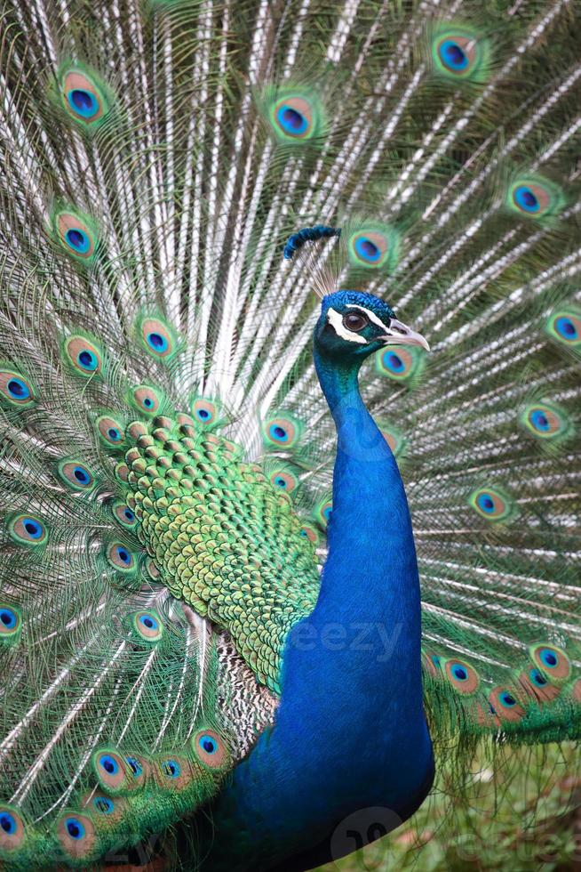 pavo real indio con cola abierta foto
