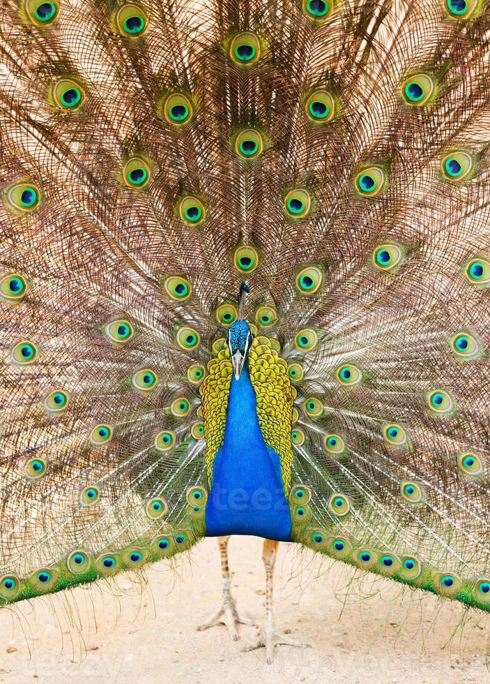 pavo real con hermosa pluma en la cola foto