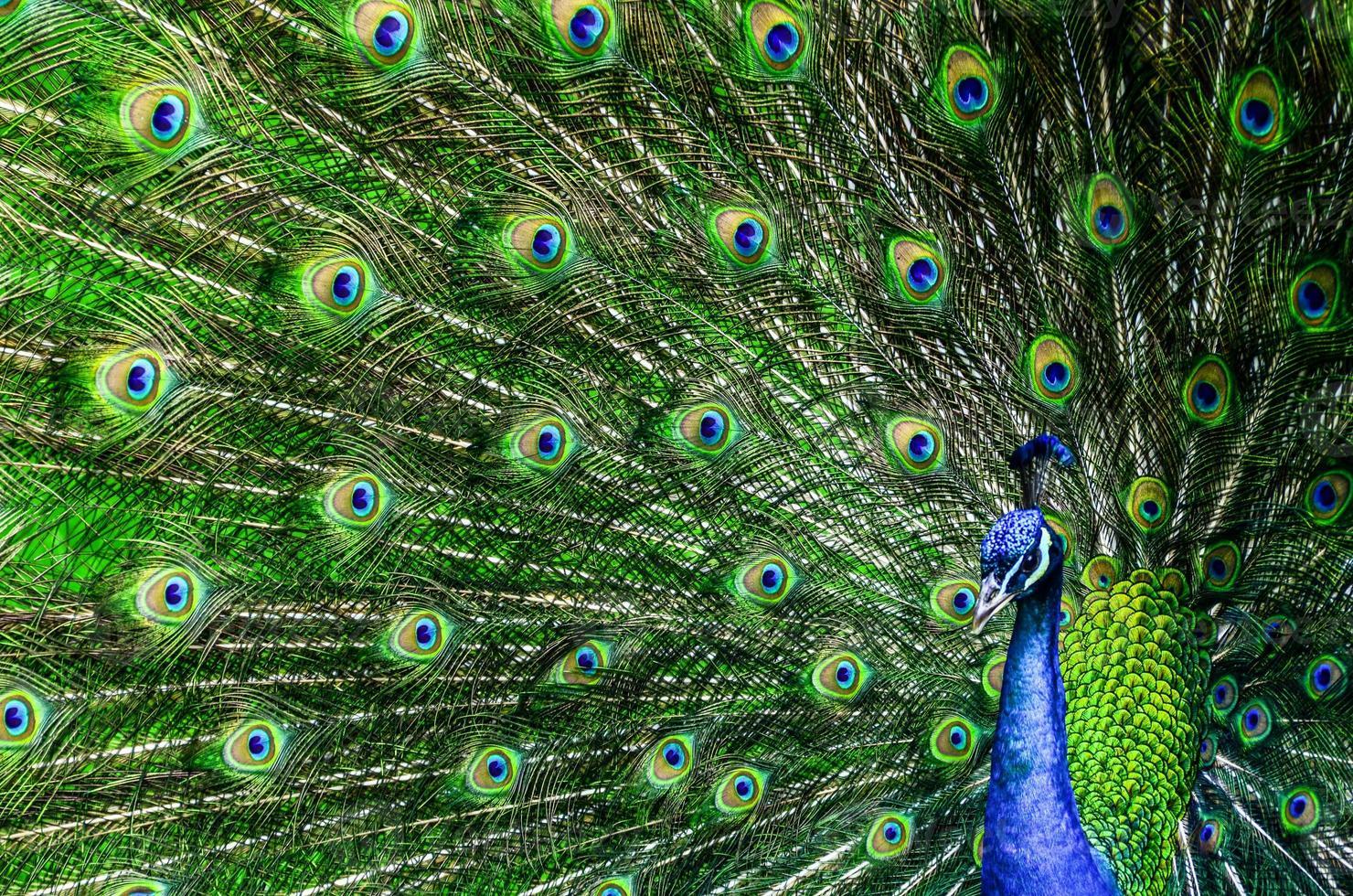 pavo real con hermosas plumas multicolores foto