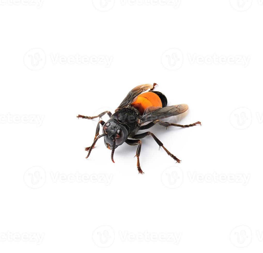 Wasp isolated on white photo