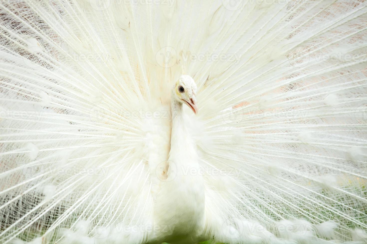 pavo real blanco foto