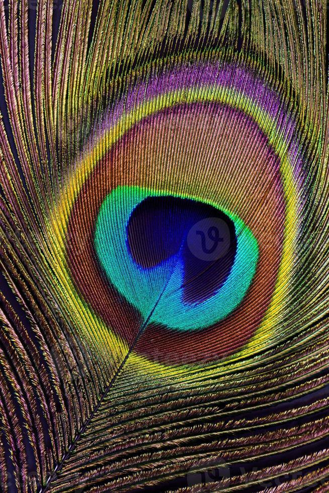 pluma de pavo real (detalle) foto