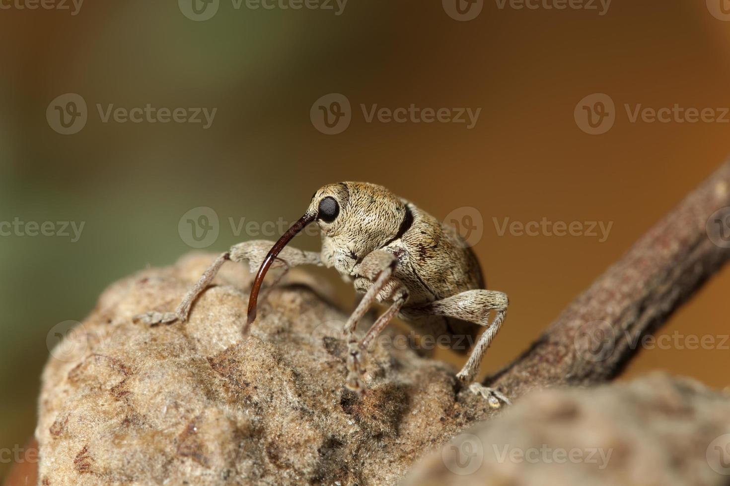 Boll Weevil close up on acorn, Colorado photo