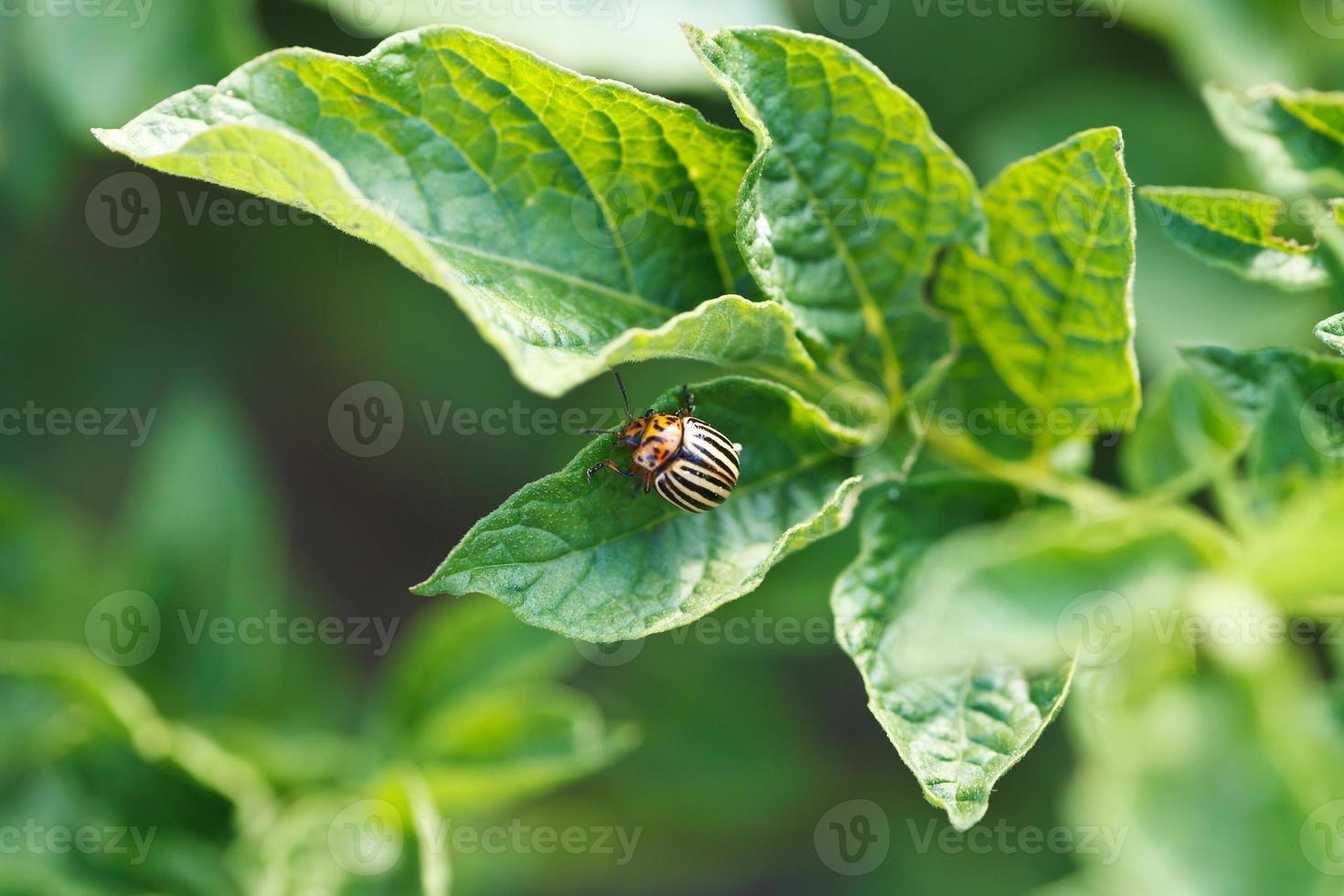colorado potato beetle eating potatoes photo