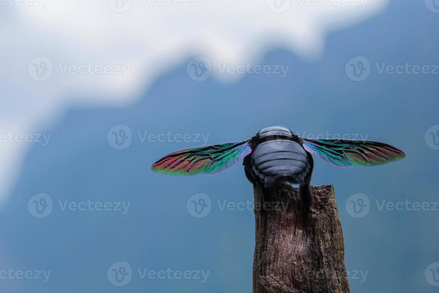 coleoptera, escarabajo con alas de arcoiris foto