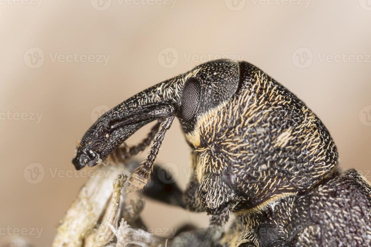 cara del escarabajo hocico, hylobius abietis foto