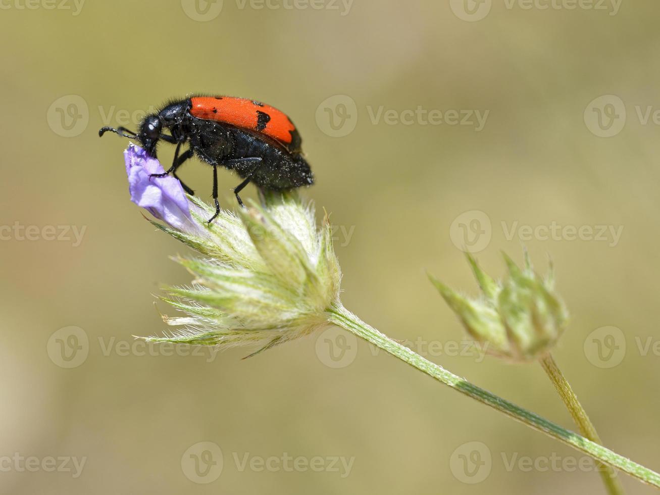escarabajo mylabris en flor foto