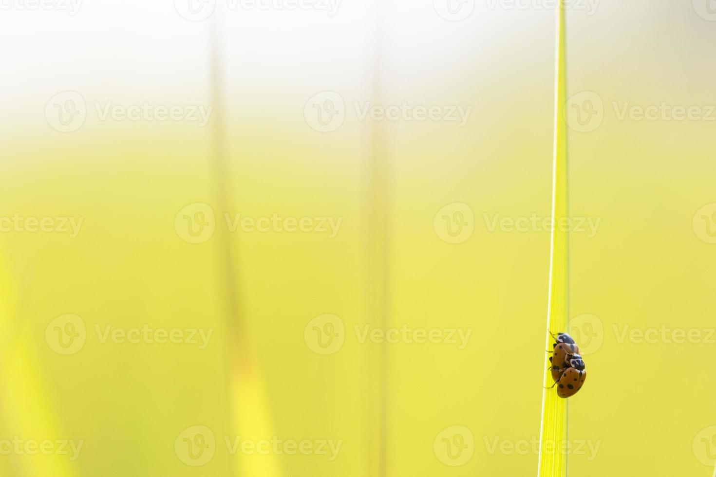 ladybugs in green grass photo
