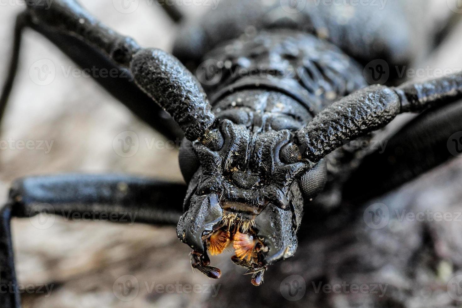 escarabajo de cuernos largos foto