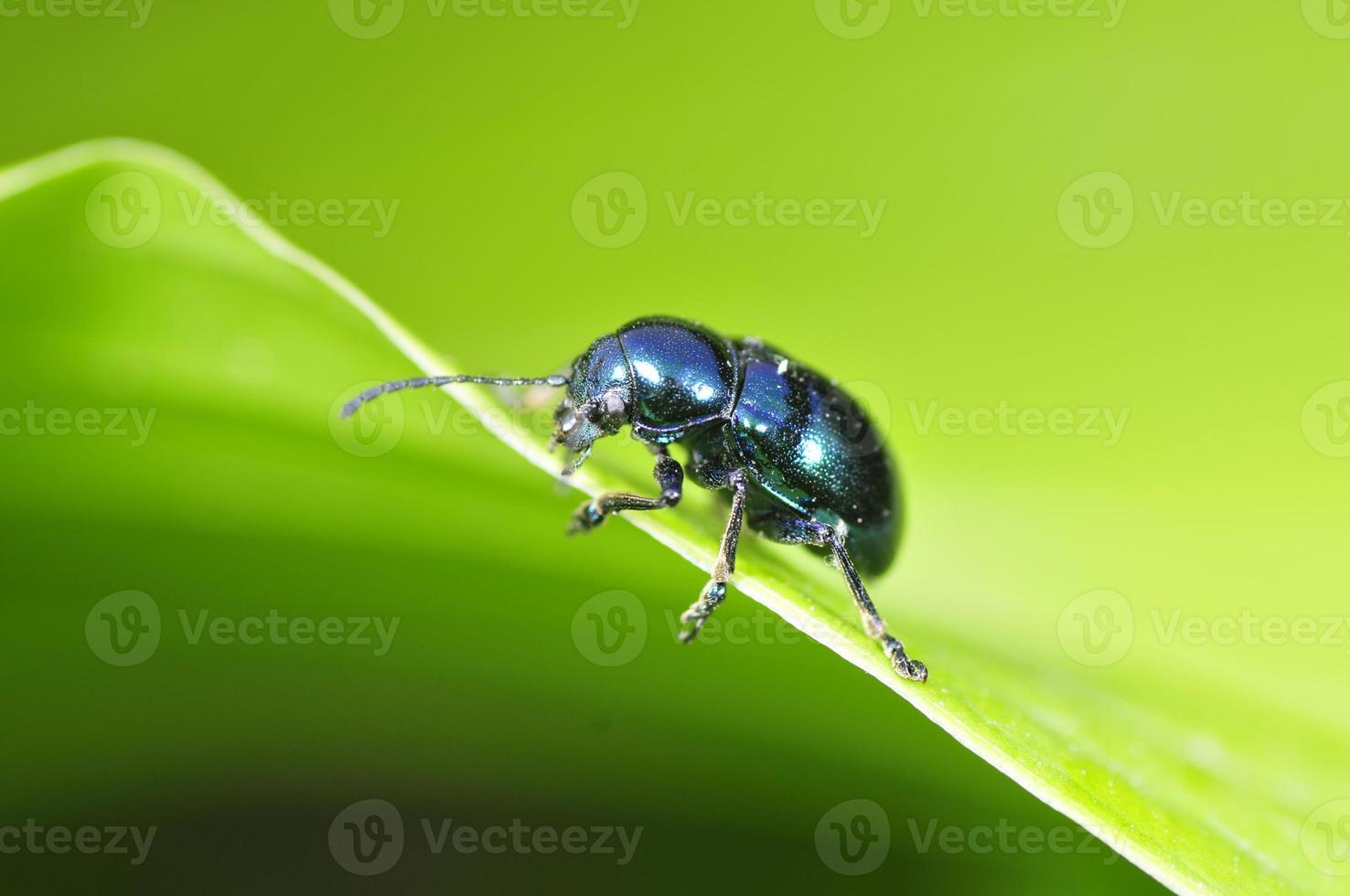 el escarabajo chrysolina fastuosa foto