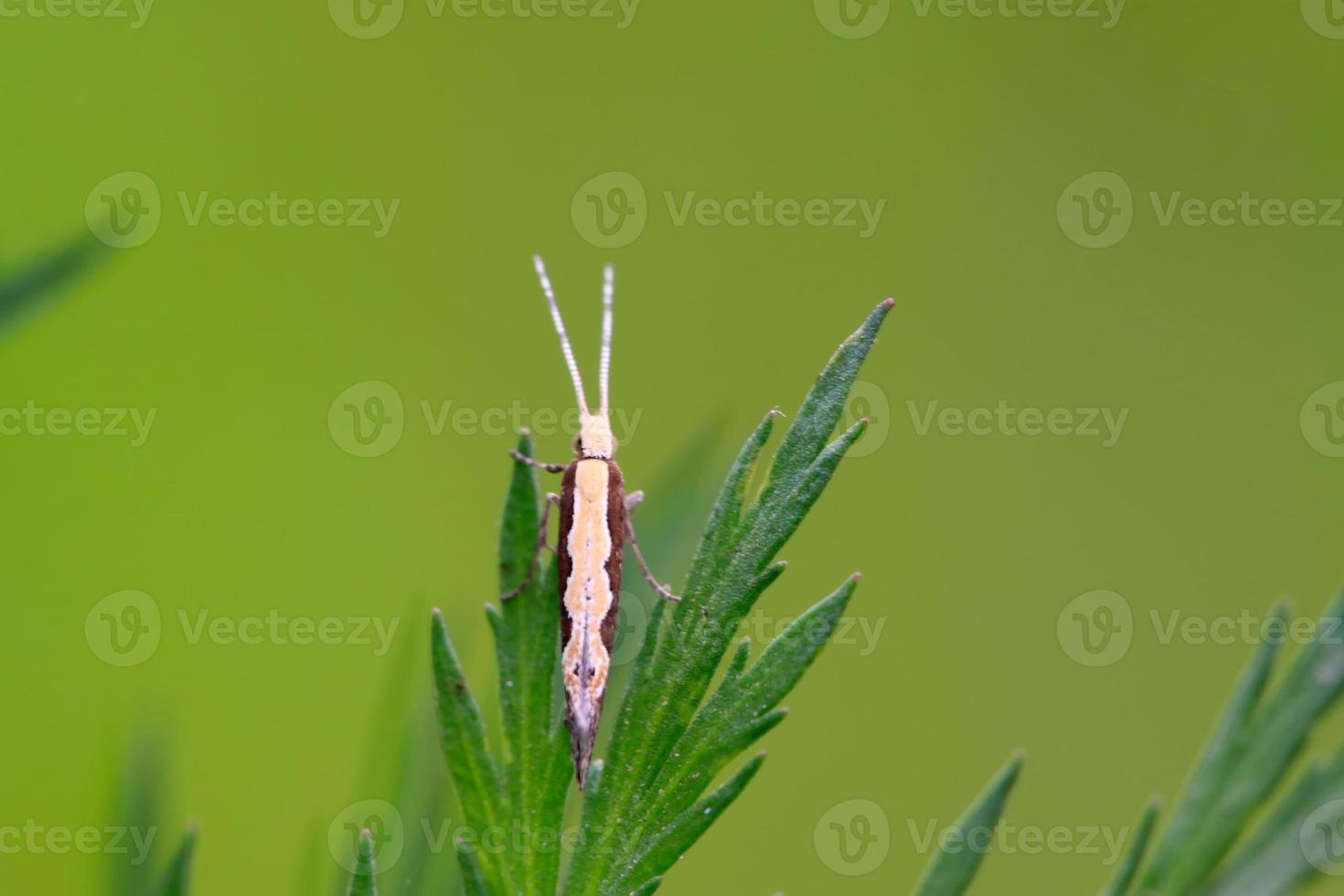 diamondback moth photo