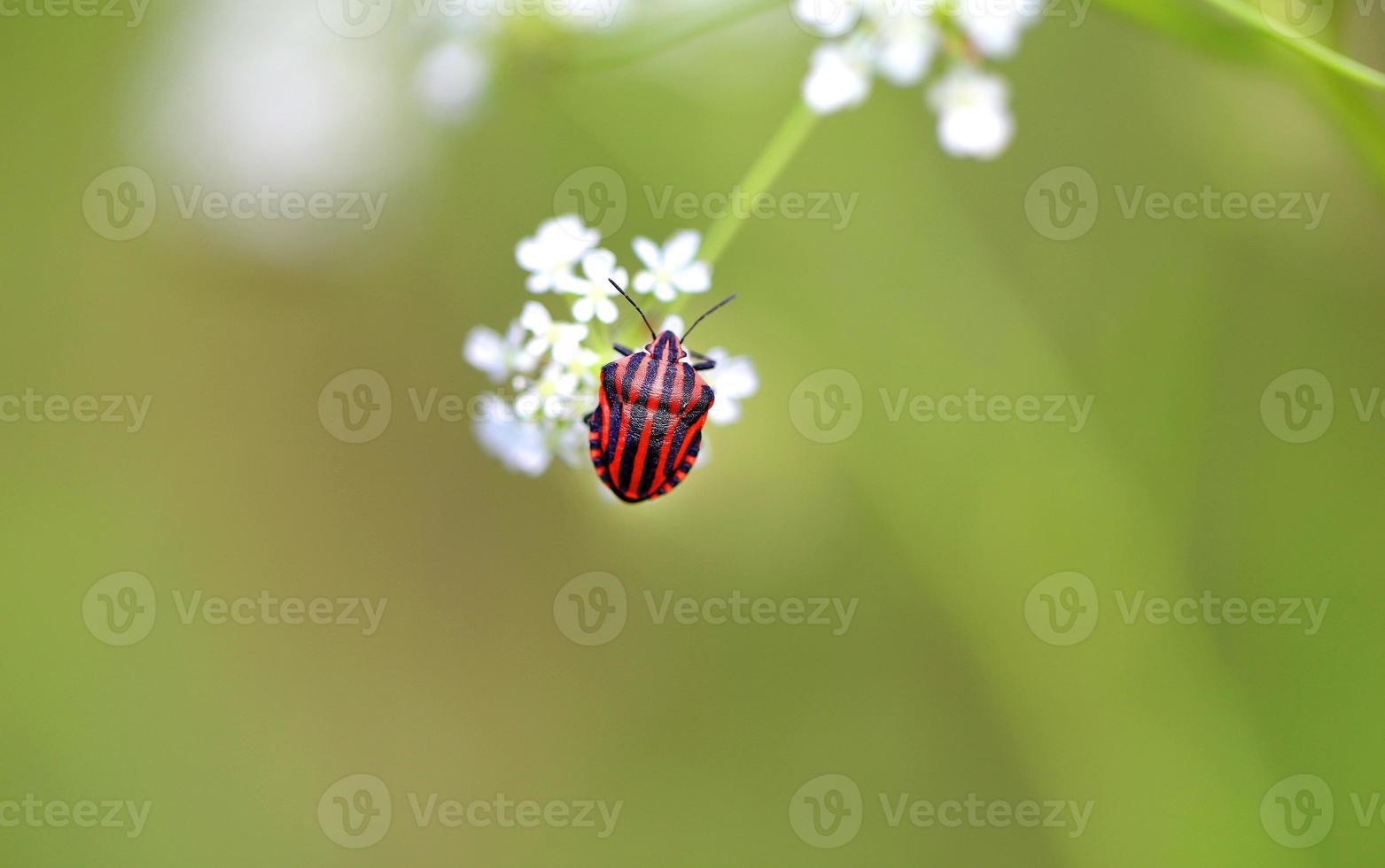 hermoso escarabajo foto