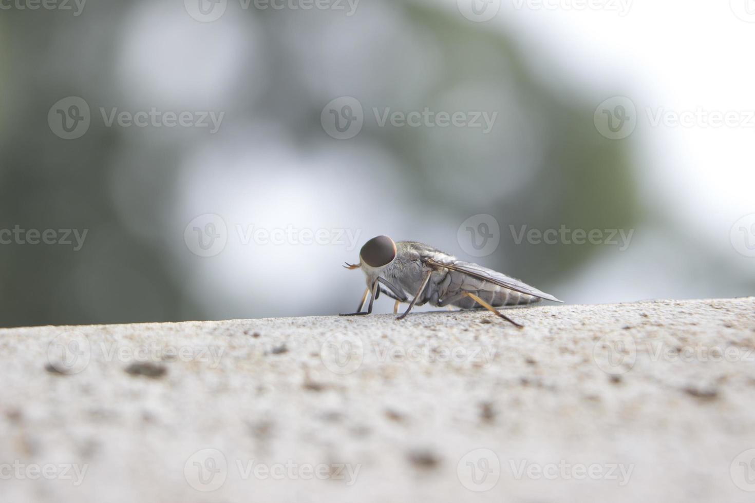 Close-up de insectos marrón chinche adulta que se arrastra hormigón foto