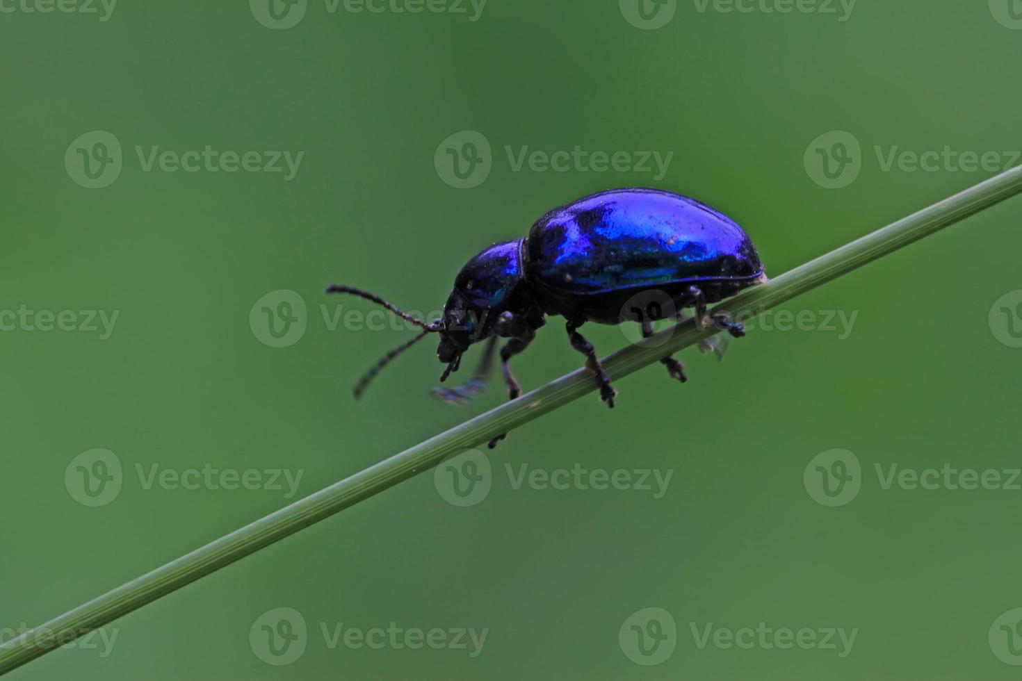 leaf beetles photo