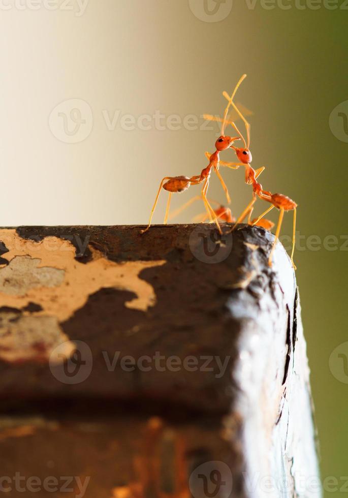 hormiga roja romántica foto