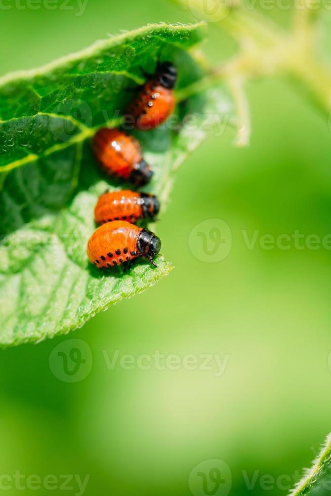 Macro shoot of potato bug on leaf photo