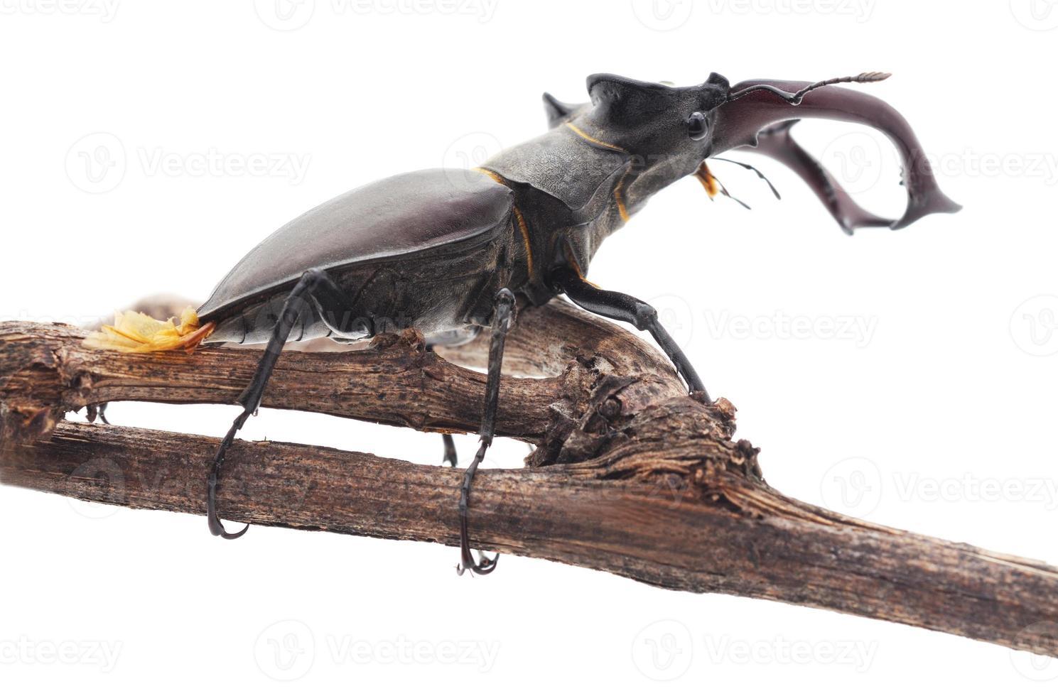 Escarabajo ciervo en una rama. foto