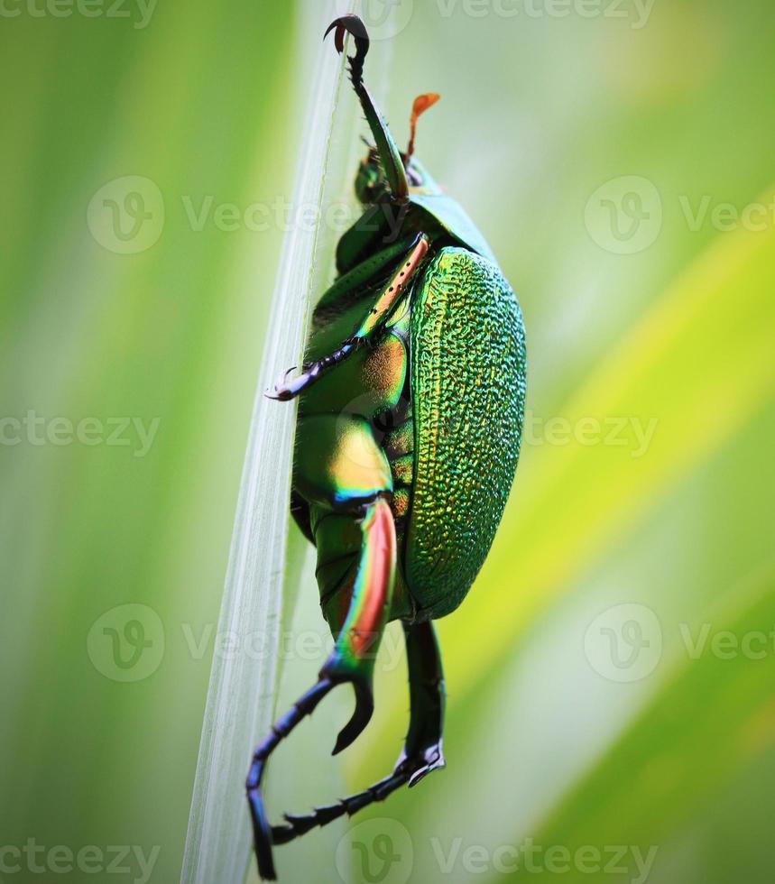insecto verde grande foto