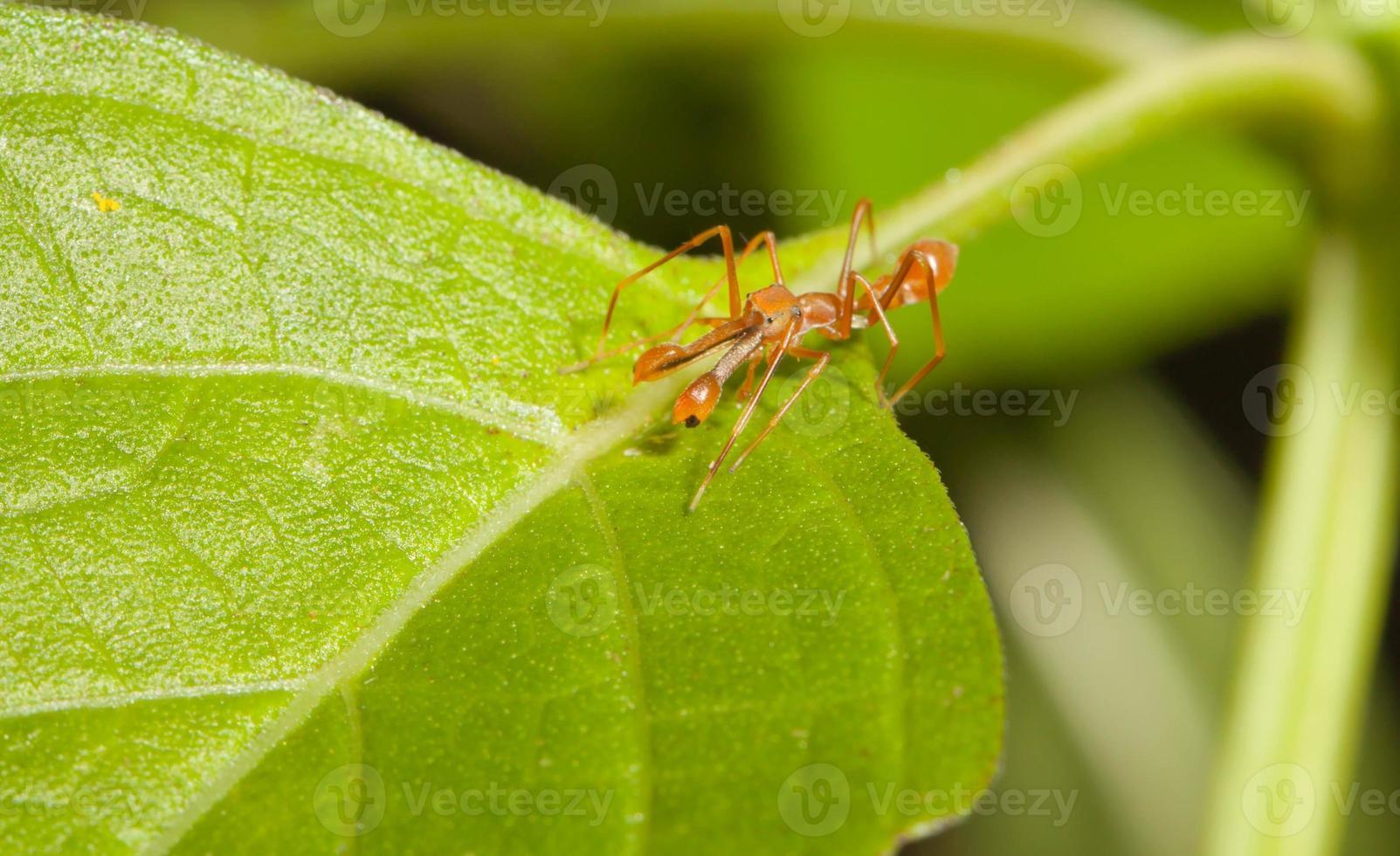 Kerengga araña saltadora como hormiga en la naturaleza foto