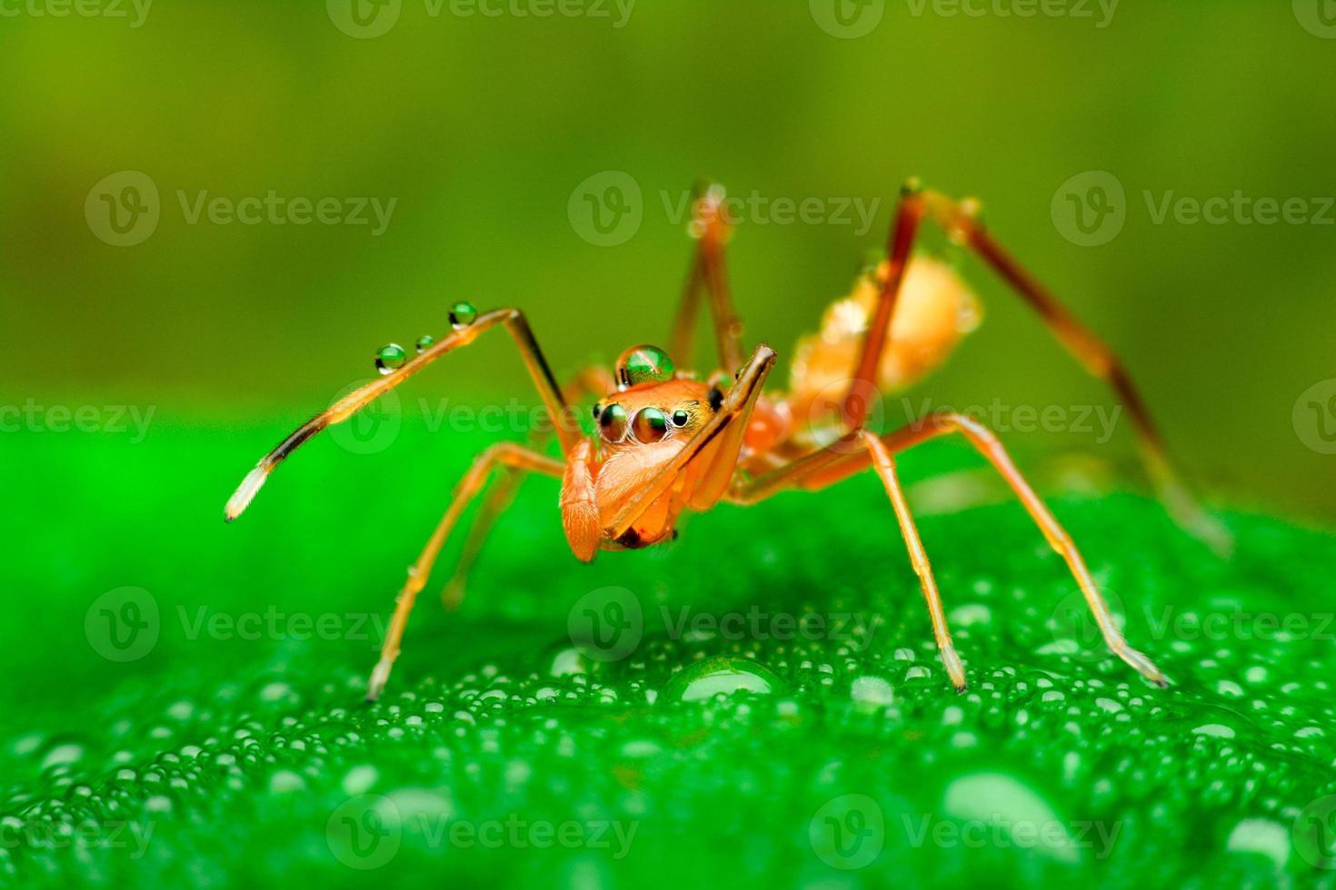 Araña mímica de hormigas con gotas de agua foto