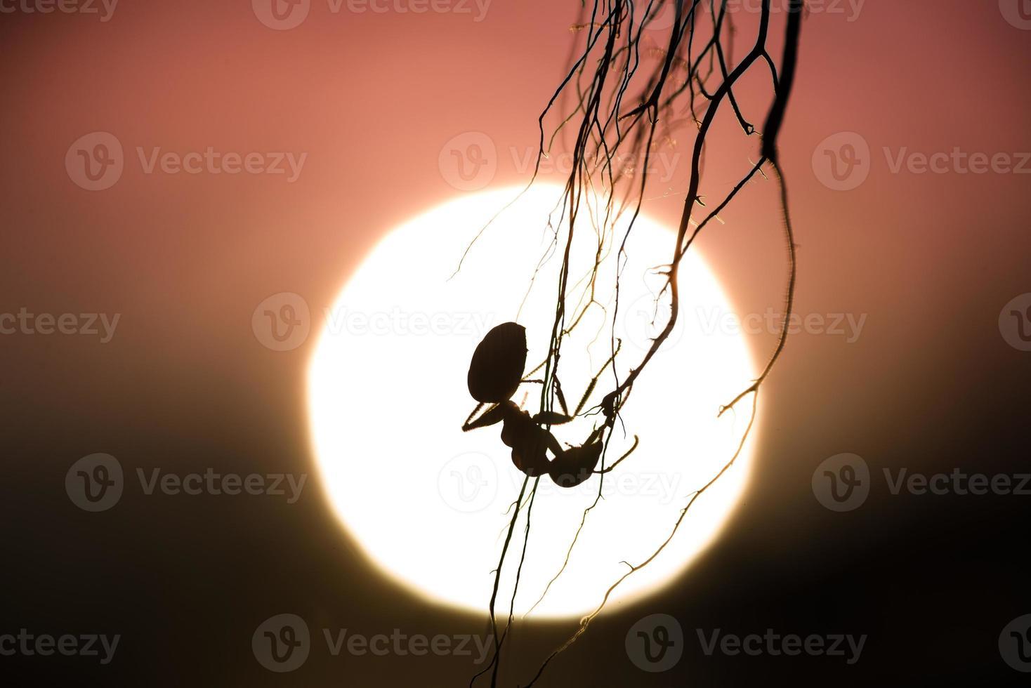 silueta de una hormiga colgante con puesta de sol en el fondo foto