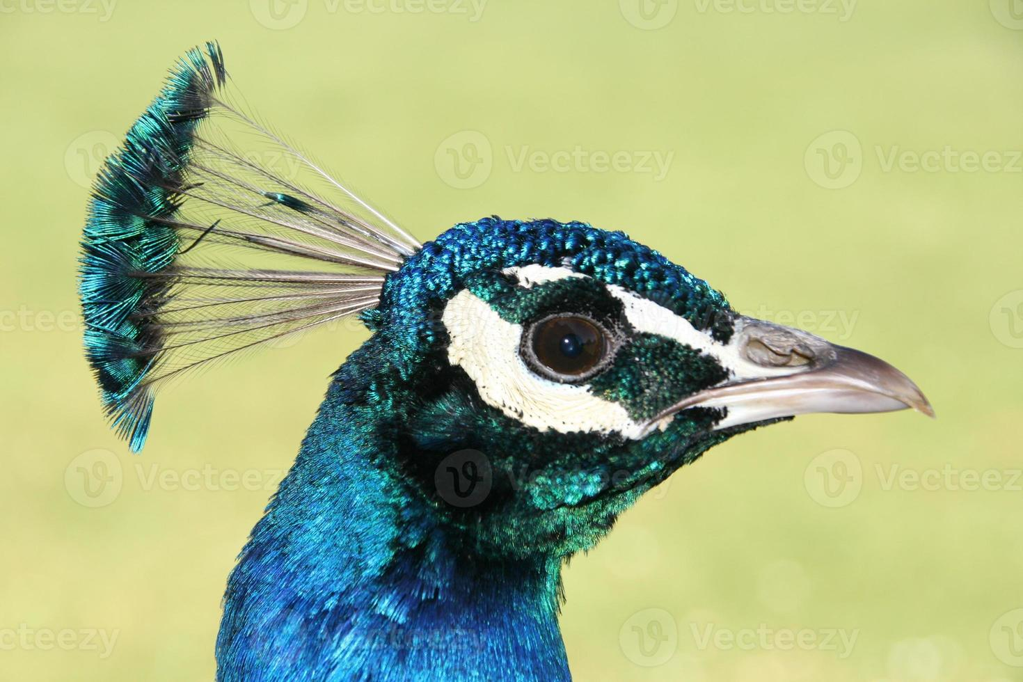 perfil de pavo real foto