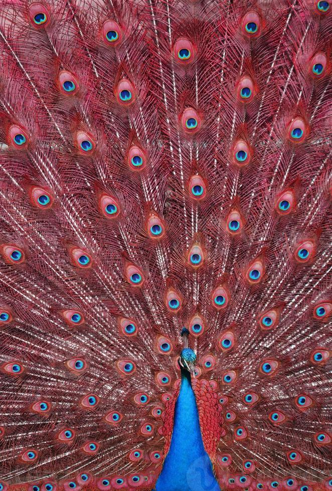 pavo real con plumas rojas foto