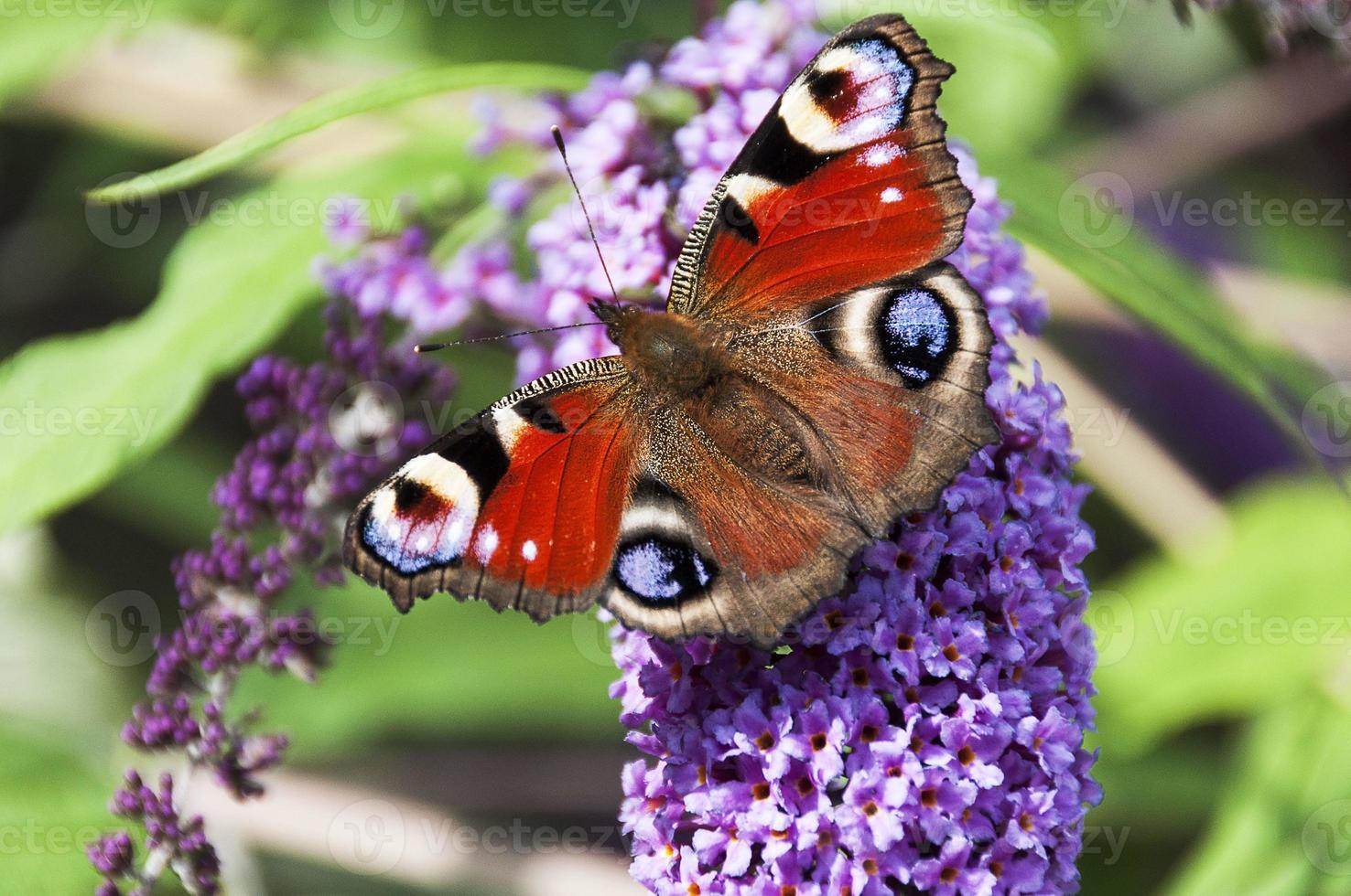 mariposa pavo real sentado en una rama de flores buddleia foto