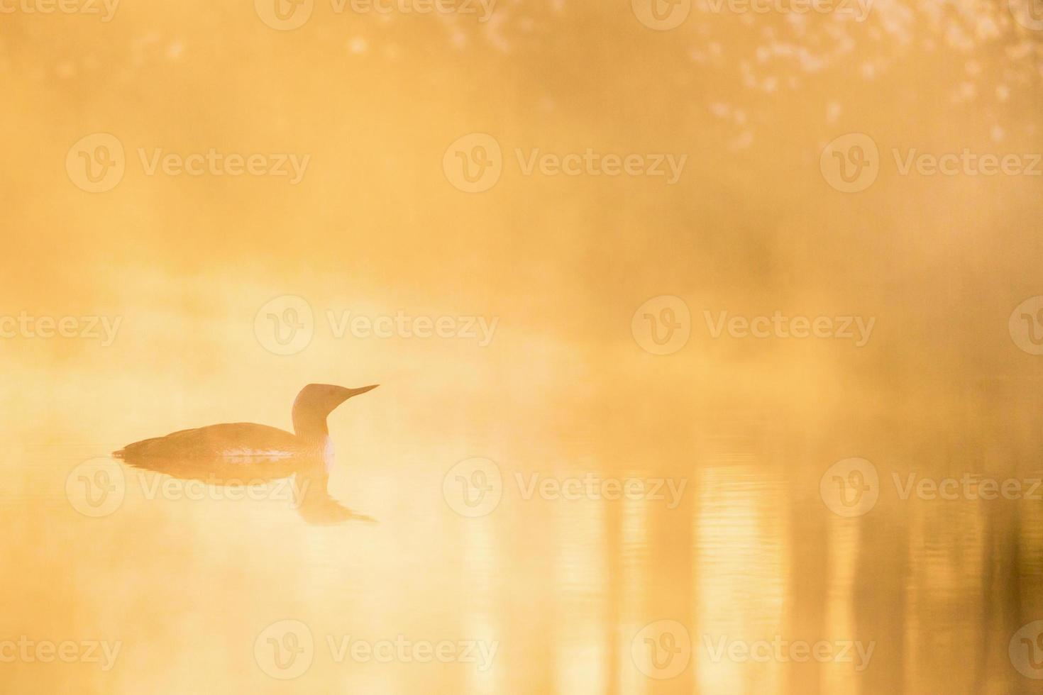 Red throated Loon in dawn light photo