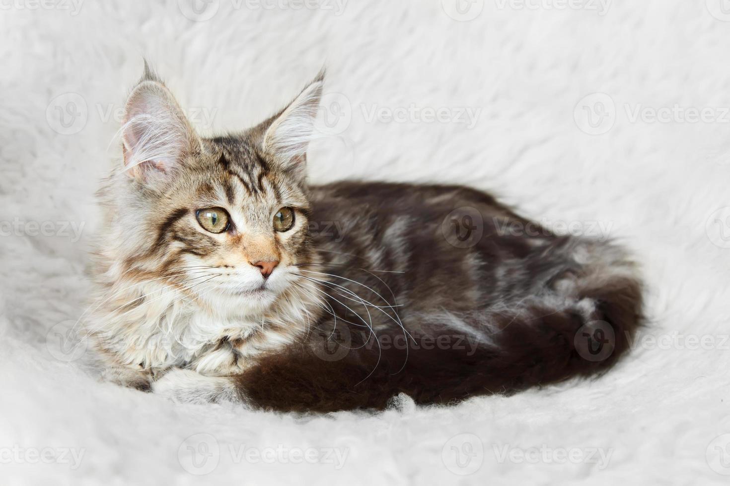 Silver black maine coon kitten posing photo