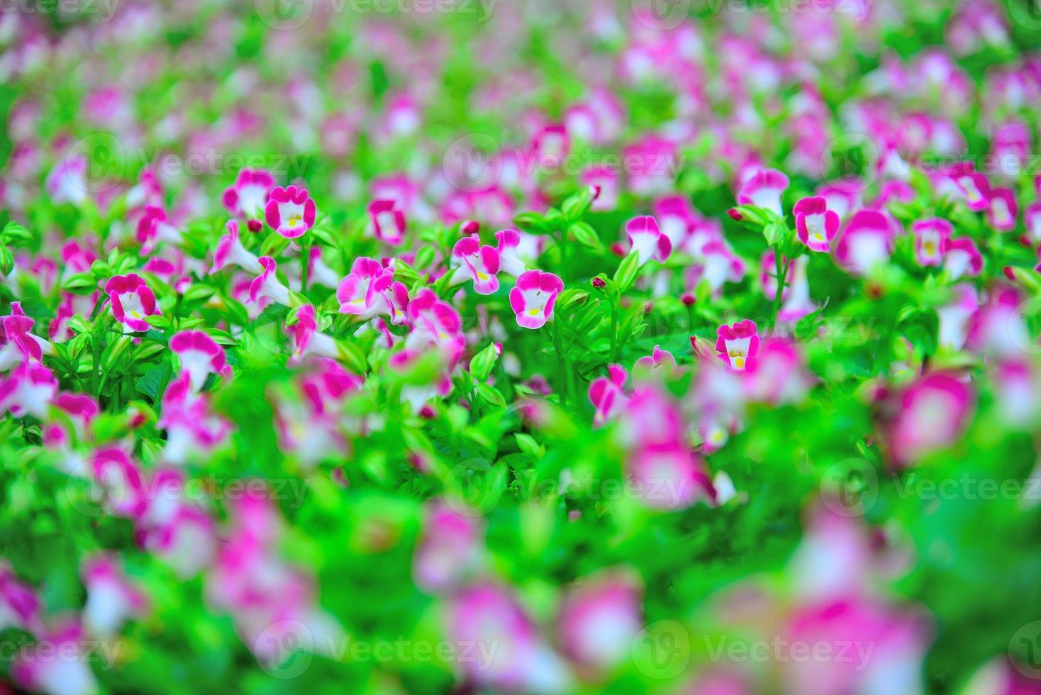 jardín de flores de pavo real purpurina púrpura foto