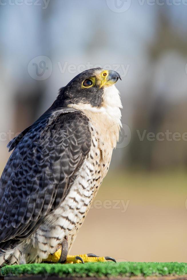 falco peregrinus ave de rapiña, cetrería. el animal más rapido. foto