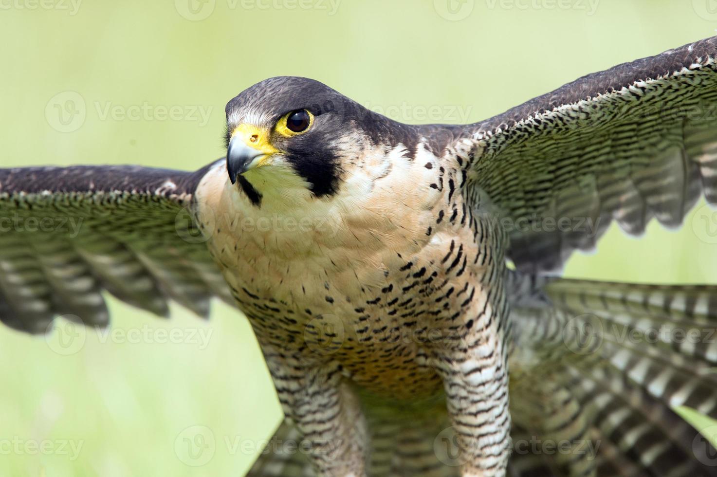 halcón peregrino (peregrinos falco) foto