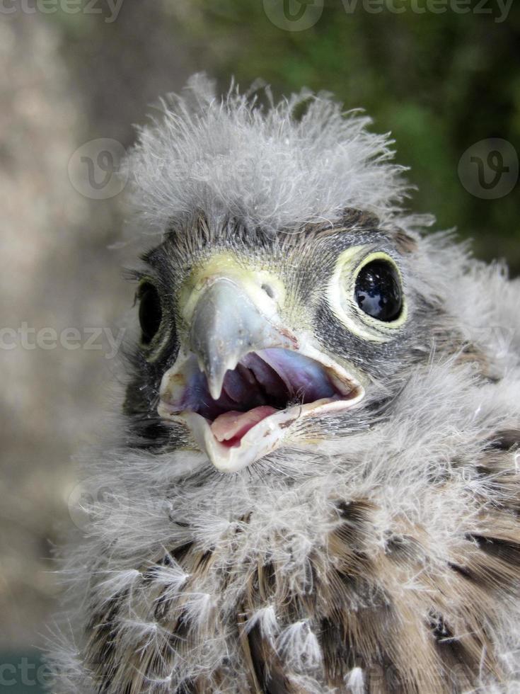 cernícalo joven con plumas muy suaves en la cabeza foto