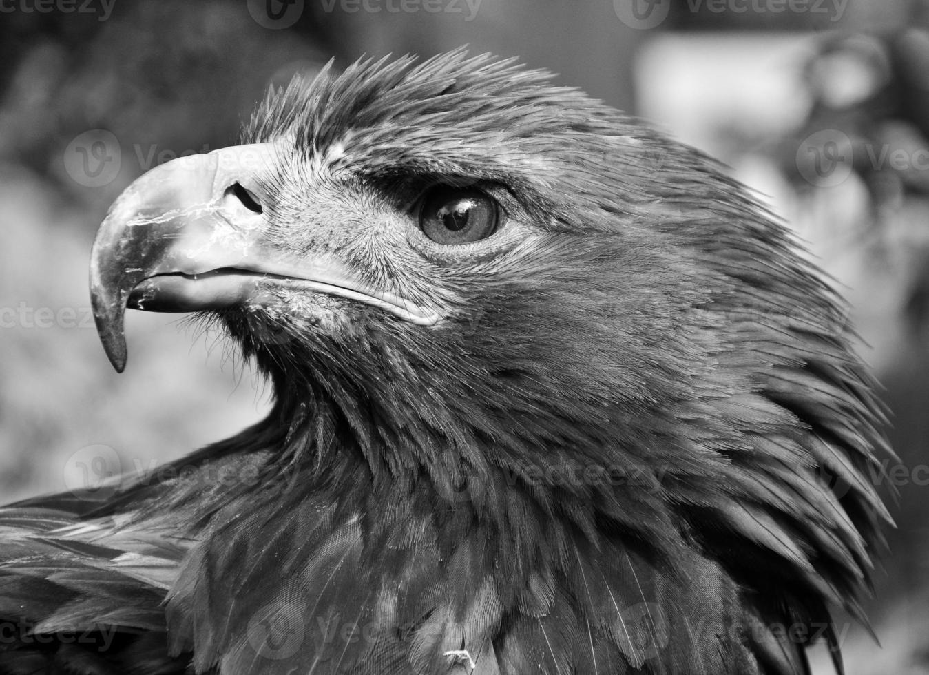 Águila dorada foto