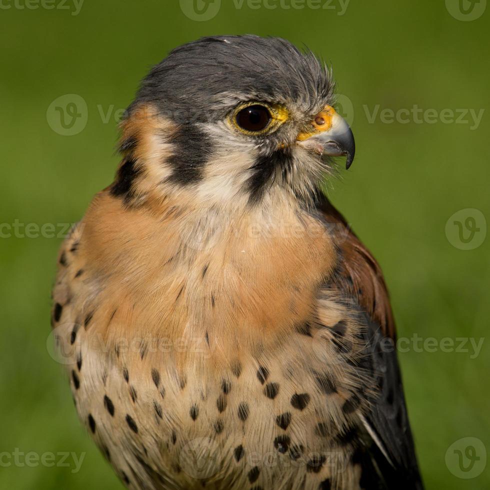 American kestrel (Falco sparverius) photo