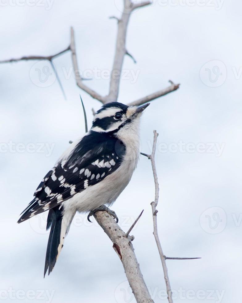 Downy Woodpecker photo