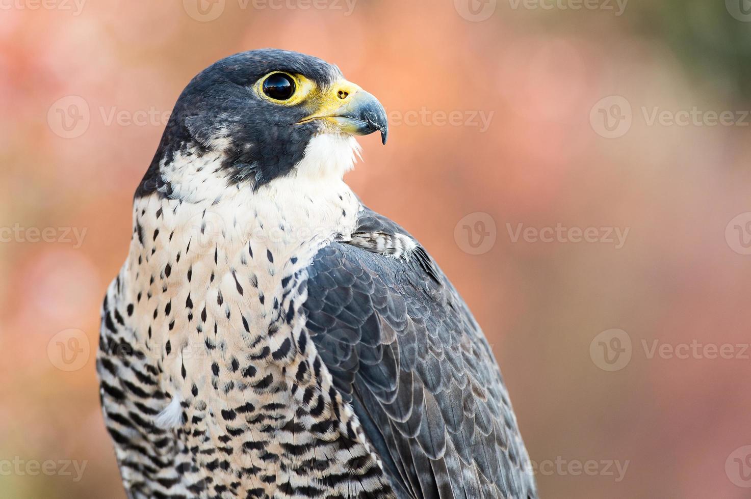 retrato de halcón peregrin foto